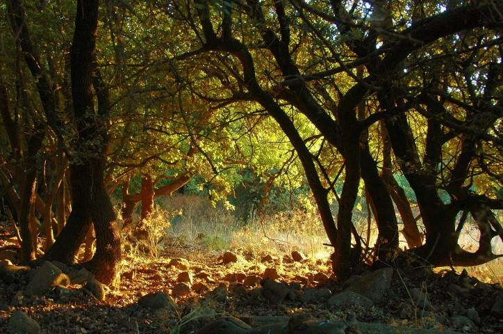 אור וצל בשמורת יער בשנית